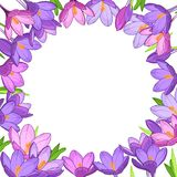 Crocus saffron floral wreath border frame template. Purple violet spring flowers green leaves. Round circle placeholder in the middle. White background. Vector Royalty Free Stock Photography