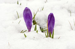 Crocus saffron violet blooms spring flowers snow. Crocus saffron first spring flowers between melting snow. Violet blooms Royalty Free Stock Photos