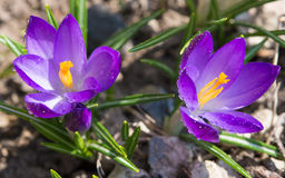 Crocus Saffron with water drops Stock Photography