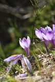 Crocus sativus growing in early spring Royalty Free Stock Photo