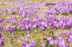 Crocus sativus plain Stock Photos