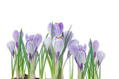 Crocus sensibles d'isolement sur un blanc Images stock