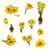 Crocus. Set of hand-drawn flowers of crocus Royalty Free Stock Images