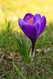 Crocus sign of spring Stock Photography
