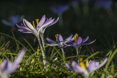 Crocus silhouette open for sunlight Royalty Free Stock Photo