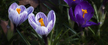 Crocus - 2. A small collection of early Spring flowers Stock Image