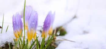 Crocus in the snow-covered garden.  royalty free stock image