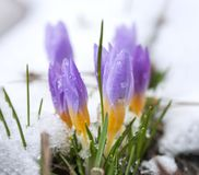 Crocus in the snow-covered garden.  royalty free stock photos