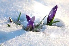 Crocus in the snow-covered garden Stock Photos