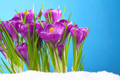 Crocus in the snow in front of blue background Royalty Free Stock Photography