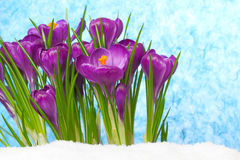 Crocus in the snow in front of blue sky Stock Photos