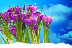 Crocus in the snow in front of blue sky Royalty Free Stock Photo