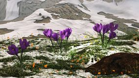 Crocus in the snow. Illustration of a snowy landscape with purple crocus and dandelion in new green grass Royalty Free Stock Image