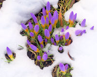 Crocus in the snow in springtime Royalty Free Stock Images