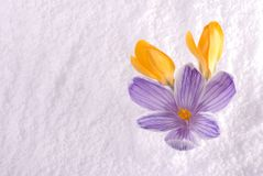 Crocus in Snow Striped and Yellow Stock Image