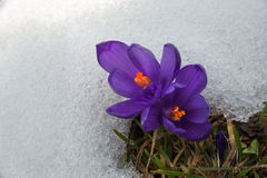 Crocus in snow surround_ Stock Photos