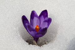 Crocus in snow surround Royalty Free Stock Images