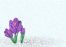 Crocus on the snow Royalty Free Stock Photography