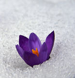 Crocus in snow_ Stock Photography