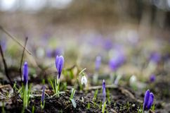 Crocus and snowdrop flowers Royalty Free Stock Photos