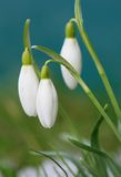 Crocus-snowdrops Royalty Free Stock Photo