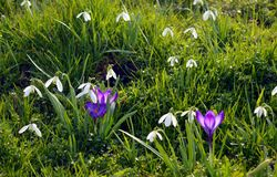 Crocus and snowdrops Stock Photo