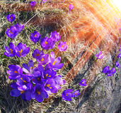 Crocus-snowdrops. In the spring, in April, May, alpine meadows on a background of the cold of snow in the Carpathians, the first great joy grow flowers Royalty Free Stock Image