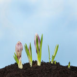 Crocus in soil Royalty Free Stock Photos
