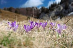 Crocus at spring stock images