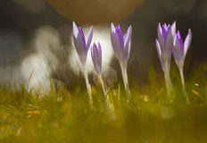 Crocus in spring. Crocus backlit with nice bokeh Royalty Free Stock Photos