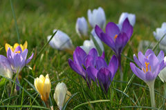 Crocus in spring Royalty Free Stock Photography