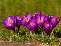 Crocus spring royalty free stock image