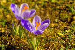 Crocus, spring flower Royalty Free Stock Photos