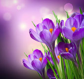 Crocus Spring Flowers. Border Design royalty free stock image