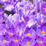 Crocus Spring Flowers Stock Photos