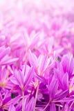Crocus spring flowers Stock Photo