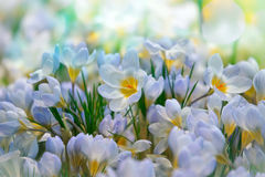 Crocus spring flowers royalty free stock photo
