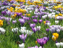 Crocus spring flowers in the green grass. Crocuses spring flowers of different colors in the green grass in the sunlight Stock Image