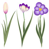 Crocus, Spring Flowers, Isolated On White Royalty Free Stock Image