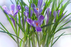 Crocus spring flowers Stock Photography