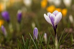 Crocus spring flowers. In springtime, copyspace floral wallpaper Royalty Free Stock Image