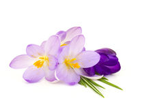 Crocus - spring flowers Royalty Free Stock Images