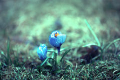 Crocus in spring forest. Blue crocus in the spring forest Royalty Free Stock Photography