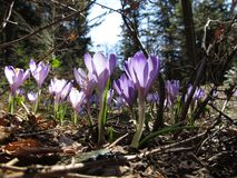 Crocus In Spring Forest Royalty Free Stock Images