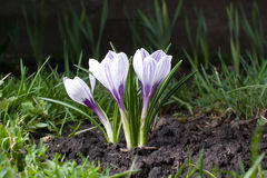 Crocus in the spring garden. On ground Stock Photography