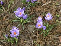 Crocus in spring. Nice flower in early spring. The first flowers appear in spring season. Landscape wonderful spring Stock Photos