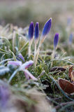 Crocus in Spring. Springtime, the early Crocus flowers show their beauty Stock Photo
