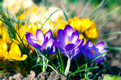 Crocus in spring Royalty Free Stock Photo