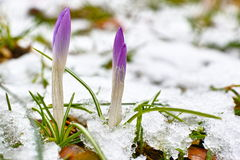 Crocus sprouts in snow. The first signs of spring: Purple crocuses sprouting out of a snow-covered lawn Stock Images