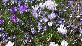 Crocus and squill blue flowers move in wind in spring garden. 4K stock video